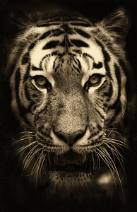 tiger, africa, purry, zoo, predator, wildlife