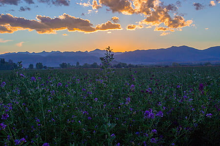 purple flower field during golden hour