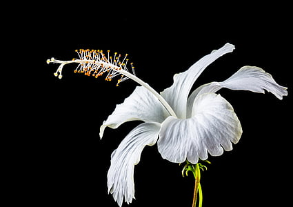 close up photo of white hibiscus flower in bloom with dark background