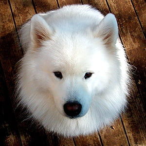 adult white samoyed