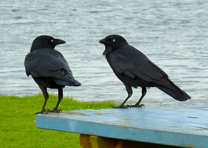 two black ravens on blue wooden table near body of water at daytime