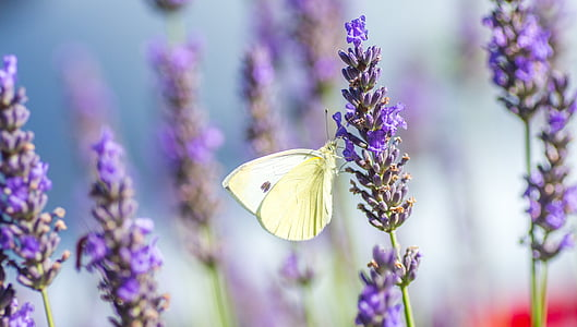 selective focus photo of sulfur butterfly perched on lavender flower