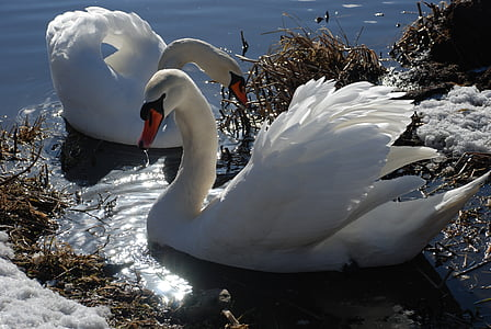 two white swans floating on body of water during daytime