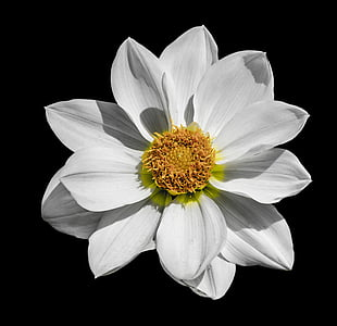 closeup photography of white single-petaled dahlia flower