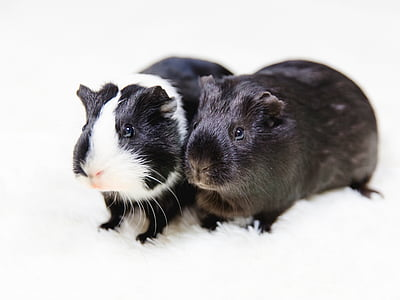two white-and-black guinea pigs on white surface