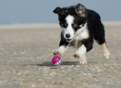 black and white border collie puppy playing pink ball at daytime