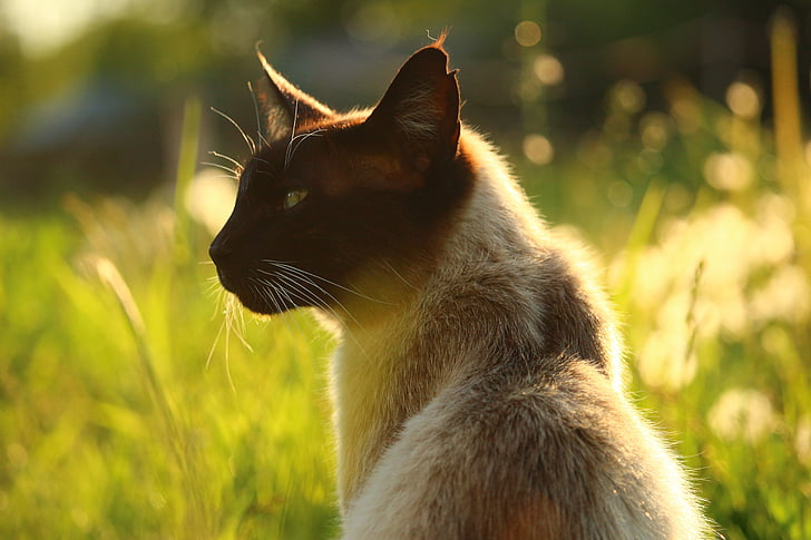 close up photography of siamese cat at the meadow