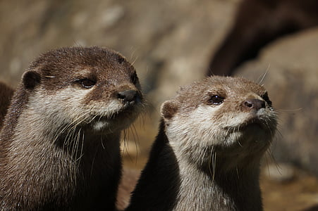 two brown ferrets
