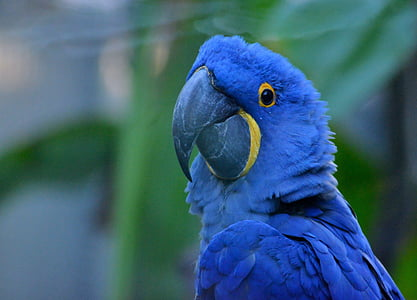 focus photo of hyacinth macaw