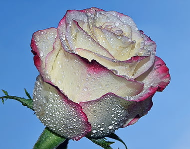 closeup photo of white and pink rose