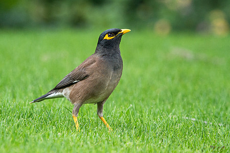 brown and black bird standing on grasses