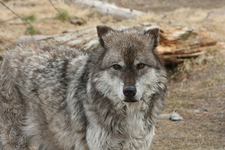 photo of gray and white wolf