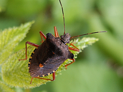 closeup photography of shield bug on green leaf