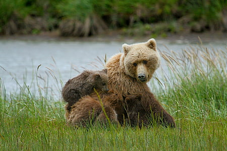 grizzly bear with cub sitting near body of water