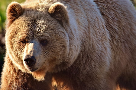 close up photo of grizzly bear