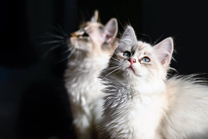 two white Persian cats