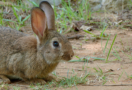 wildlife photograph of brown rabbit