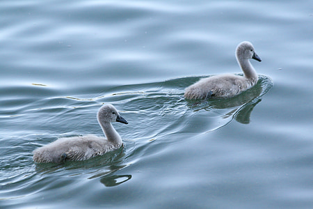 two juvenile gray swans swimming on water at daytime