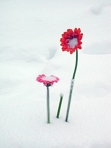 red flowers in snow