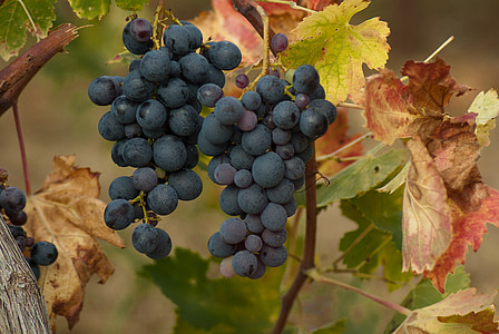 grape, cluster, harvest, vineyard, bunch of grapes, vine