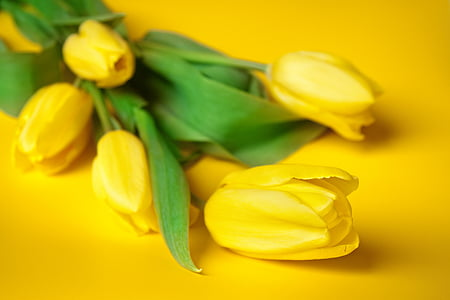 yellow tulips on yellow surface