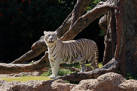 white tiger standing on tree truynk