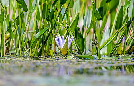 low angle photo of lilies on water