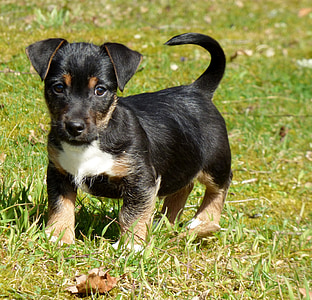 short-coated black, brown, and white puppy on grass during daytime