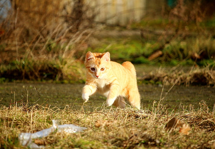 orange tabby cat running on grass