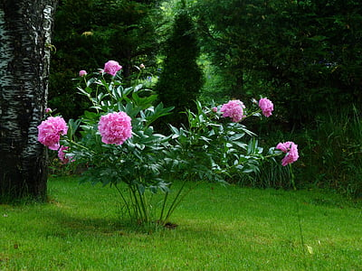 pink peonies in bloom at daytime