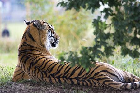 Bengal tiger lying on ground during daytime