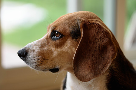 selective focus photo of adult black, tan, and white beagle