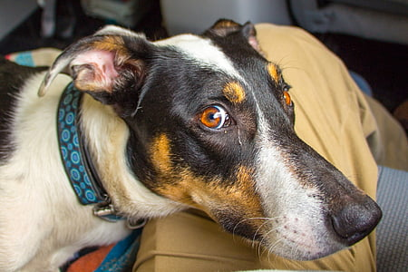 medium short-coated tricolor dog with green and black collar