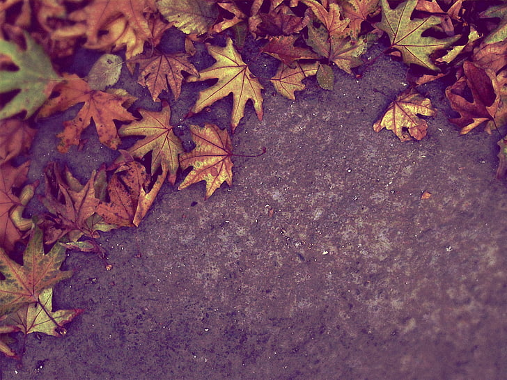 Royalty-Free photo: Closeup photo of maple leaves on ...
