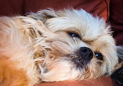 adult beige Havanese lying on brown cushion