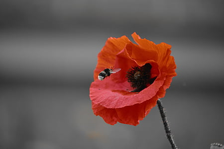 bee hovering over the red poppy flower