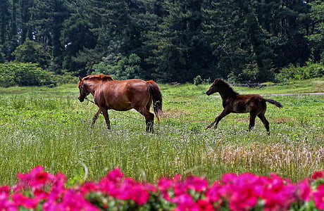two brown horses galloping on grass field