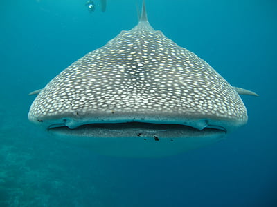 gray and white whale shark in body of water