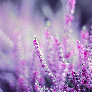 bokeh photography of purple flowers