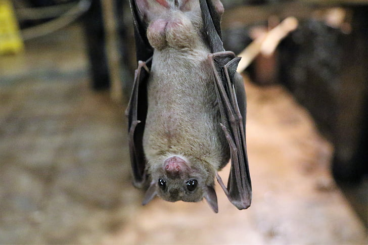 gray fruit bat