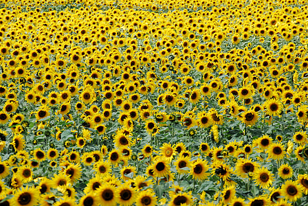 sunflower field in bloom at daytime