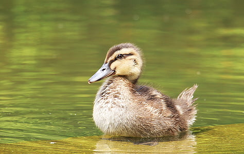 shallow focus photography of brown duckling on body of water