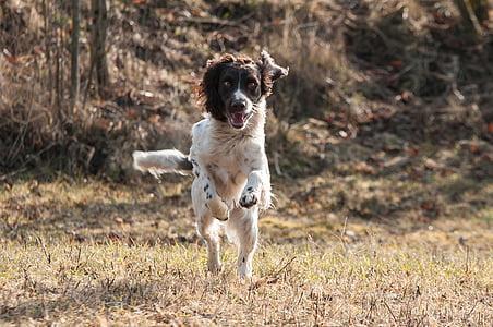 medium short-coated tan and white dog running on grass field