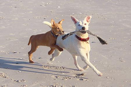 two short-coated tan and white dog walking on seashore