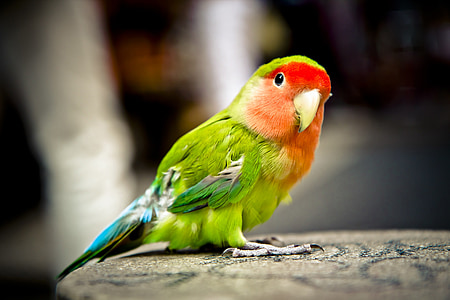 close photography of black and red pet bird