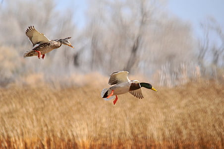 two mallard ducks flying on dried grass