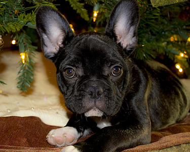 black French bulldog puppy laying down next to Christmas tree