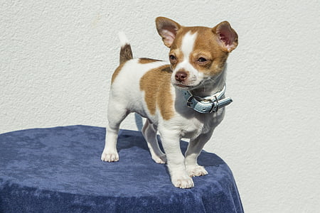smooth tan and white Chihuahua wearing blue leather collar stands on top of table