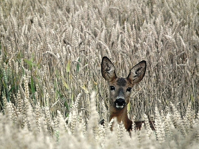 brown deer in wheat field during day