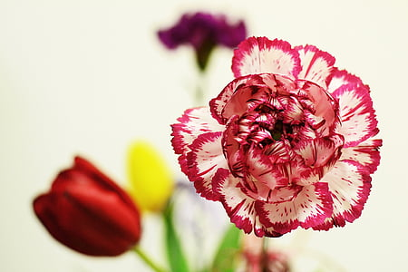 red and white carnation flower in bloom